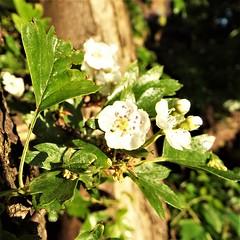 Hawthorn Flowers in Yardley, Birmingham (cowcornerman1) Tags: hawthorn mayflower crategusmonogyna