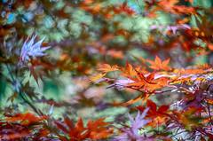 maple leaf bokeh (kderricotte) Tags: japanesemaple tree bokeh depthoffield sony sonya7ii sonyfe85mm18 ilce7m2 sel85f18