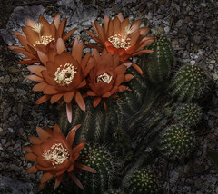 Multiple Orange Cactus Flowers With White Centers (Bill Gracey 18 Million Views) Tags: cactus cactusflowers orange colorful offcameraflash cactusgarden lastoliteezbox softbox flowers flores fleur yongnuo yongnuorf603n nature naturalbeauty