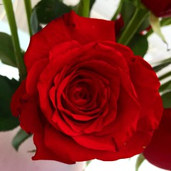 Rose 🌹 (zena_suleman97) Tags: valentine r petals red darkred pretty floral summer garden flower redrose rose