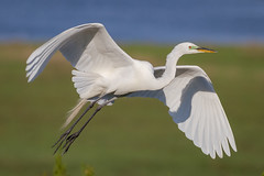 Great Egret landing (tresed47) Tags: 2018 201805may 20180521njoceancitybirds birds canon7d content egret folder greategret may newjersey oceancity peterscamera petersphotos places season spring takenby us