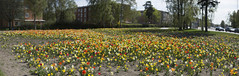 Tulpanorama (new Swedish word by me) (Steffe) Tags: tulpanfestival tulips panorama tulpaner tulipfestival flowers handen haninge sweden summer