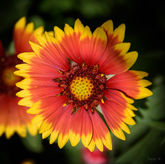 Spiked with Yellow (Jocey K) Tags: newzealand nikond750 christchurch flower