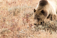 Grizzly Looking for Food (GrandTetonNPS) Tags: grizzly bear grandteton nationalpark wildlife animal mammal