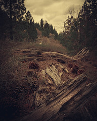 Wood pieces with lots of texture in a forest area in California. (pedroferr) Tags: woods moody brown 4x5 fujifilm california unitedstatesofamerica tree donnerlake sky farm dramatic wood lines usa landscape winter truckee vertical texture rural shapes mystic clouds nature diagonal scene detail warm cloudy travel forest hiking cold trails park closeup morning outdoors mountain