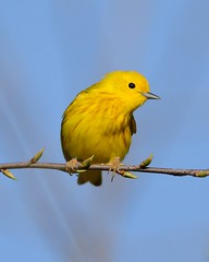 2018-05-01 Montrose Point 2 (JanetandPhil) Tags: 2018naturepreservesvariouslocations birds montrosepointbirdsanctuary lincolnpark chicagoparkdistrict chicagoil yellowwarbler dendroicapetechia