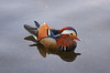 Little beauty (Caulker) Tags: hydepark mandarinduck lake serpentine