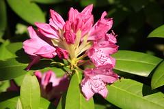 Rhododendron (20/52) (Stu.G) Tags: canoneos40d canon eos 40d canonefs1785mmf456isusm efs 1785mm f456 is usm england uk unitedkingdom united kingdom britain greatbritain d europe eosdeurope project52 project 52 project522018 522018 19may18 19thmay2018 19th may 2018 may2018 19thmay 19518 190518 1952018 19052018 rhododendron pinkrhododendron rhododendronpink pink flower pinkflower