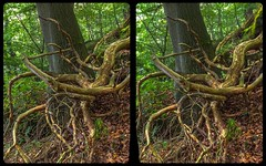Crippled tree 3-D / CrossEye / Stereoscopy / HDRaw (Stereotron) Tags: sachsenanhalt saxonyanhalt ostfalen harz mountains gebirge ostfalia hardt hart hercynia harzgau roots wurzeln tree baum forest woods outback backcountry wilderness europe germany deutschland crosseye crossview xview pair freeview sidebyside sbs kreuzblick 3d 3dphoto 3dstereo 3rddimension spatial stereo stereo3d stereophoto stereophotography stereoscopic stereoscopy stereotron threedimensional stereoview stereophotomaker stereophotograph 3dpicture 3dimage twin canon eos 550d yongnuo radio transmitter remote control synchron kitlens 1855mm tonemapping hdr hdri raw
