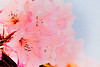 Spontaneous Cover (Barb Henry) Tags: flowers rhododendrons petals pinks nature blooms oregon artwork paint silky abstract