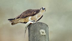 Best Fish and Chips In Town (Christina's World Off and On) Tags: osprey bird birdofprey largebird fish nature textures eyes feathers food