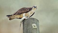 Best Fish and Chips In Town (Christina's World-) Tags: osprey bird birdofprey largebird fish nature textures eyes feathers food