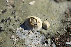 Wrinkled Barnacle (Balanus crenatus) (Zach Hawn) Tags: washington owen pointdefiance mpt metroparkstacoma pacificnorthwest pnw marine marinebiology wildlife animal pugetsound salishsea