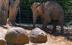 Asian Elephant - dirt shower (Merrillie) Tags: elephant wildlife elephasmaximus asianelephant nature ears dirt animals fauna mammal animal