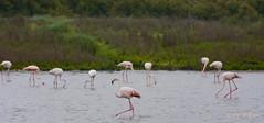 Fuente de Piedra (1 de 1) (GonzalezNovo) Tags: pwmelilla flamingos flamencos fuentedepiedra málaga