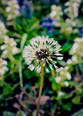 I'm Just a Dandy-Lion (blamstur) Tags: spring dandelion wildflower centered white green blue