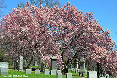 Magnificent Magnolias (Trish Mayo) Tags: spring magnolias floweringtrees cemetery greenwood greenwoodcemetery