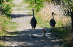 Family Stroll (ap0013) Tags: sandhill crane cranes baby family sandhillcrane circle b bar reserve lakeland florida fla fl circleb barreserve lakelandflorida lakelandfl bird birding nature animal