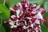 Hybrid Rose, Jandira, SP, Brazil (Sebastiao P Nunes) Tags: rose rosa rosal rosaceae flor flores flower jandira sãopaulo brazil canoneos70d nunes snunes spnunes spereiranunes
