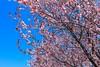 Cherry Blossoms (Jemlnlx) Tags: canon eos 5d mark iv 4 5d4 5div ef 1635mm f4 l is usm new york city ny nyc roosevelt island cherry blossoms festival