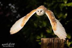 Barn Owl-1180logo