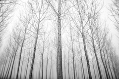 trees (Roberto.Trombetta) Tags: fog winter mistery simmetry black white blackandwhite bw tree forest park sony alpha 7rm2 7rii batis225 carl zeiss batis 25 fine art fineart parco albero legno foresta italy italia poplar landscape nature garden bosco wood woodland environment