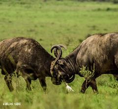 Fight (khelan919) Tags: nikon photography kenya nairobinationalpark nature wildlifephotography fight wildlife animalplanet buffalo