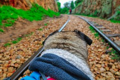 With you till the end of the world (Stefania Avila) Tags: dog pug pugs animal suesca colombia traveller ferrocarril train rocks stones nature landscape