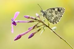 Ma Chérie... (Zbyszek Walkiewicz) Tags: butterflies butterfly closeup macro sony