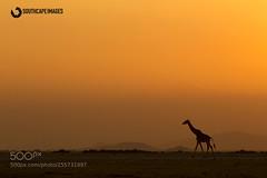 Amboseli Giraffe Sunset (KevinBJensen) Tags: wildlife africa travel amboseli national park east kenya mario moreno nature photo safari tour photographic south cape images sunset sunrise dramatic sky dawn sun silhouette moody dusk twilight horizon giraffe africatravel amboselinationalpark eastafrica mariomoreno photosafari phototour photographicsafari southcapeimages kajiadocounty