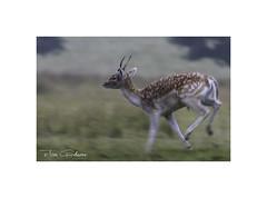 In full flight (timgoodacre) Tags: fallow fallowdeer fallowbuck deer nature animal deerinflight running trotting antlers horns buck ngg ngc wildanimal