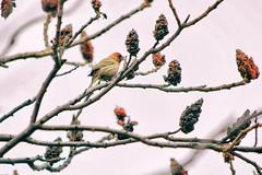 Singing for Spring (flashfix) Tags: may012018 2018inphotos ottawa ontario canada nikond7100 55mm300mm nikon flashfix flashfixphotography finch birdphotography branches tree nature mothernature animal spring