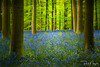 Magic Forest (Paul Nagels) Tags: hallerbos hyacinth hyacinths belgium trees tree forest wild flowers