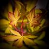 A chacun son pétiole (S@ndrine Néel) Tags: feuille érable leaves closeup neelsandrine