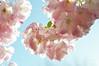 The pink time of year (DameBoudicca) Tags: sweden sverige schweden suecia suède svezia スウェーデン cherryblossom sakura kirschblüte 桜 japanischekirschblüte fleursdecerisier fiorediciliegio サクラ körsbärsblomma tree träd 木 baum arbre pink rosa rose ピンク flower blossom blomma blüte flor fiore fleur 花 はな spring vår frühling frühjahr primavera printemps 春 はる