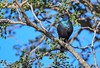 Cape Glossy Starling (Lamprotornis nitens) Kruger Park, Limpopo, South Africa 2014-01 (Ricardo Bitran) Tags: lamprotornisnitens capeglossystarling krugerpark limpopo southafrica