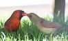 Cardinal X (alainpoirier48) Tags: cardinal