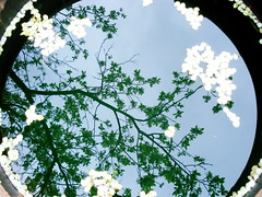 plum blossoms in a barrel of rainwater (Zoolik) Tags: plum blossoms barrel rainwater