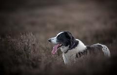 Letting him go ... (JJFET) Tags: border collie dog sheepdog herding