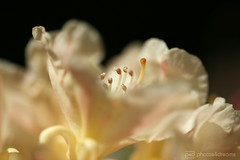soft yellow rhododendron (photos4dreams) Tags: photos4dreams p4d photos4dreamz photos photo pics flower flowers nature mysecretgarden home