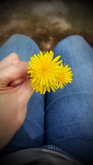 From My Son ❤ (SurFeRGiRL30) Tags: dandelions weed flower pretty yellow petals spring springtime jeans hand bouquet cute newjersey legs pants bluejeans blue dirt blur