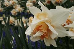 _MG_5668 (condor avenue) Tags: tulipfestival skagitvalley washington flowers colorspam skagitcounty tulipfields hyacinths daffodils spring