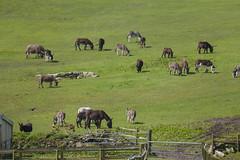 P1250215_edit (The Oldhams) Tags: cornwall donkeys flickadonkeysanctuary