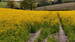 Path of gold (Englepip) Tags: rapeseed canola field outdoor landscape yellow path sunshine simile
