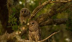 Wonderful World (agnish.dey) Tags: birding birdwatching bird owl owlet birdsofprey green tree perched spring nature naturallight naturephotograph nikon florida wildlife