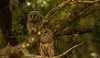 Wonderful World (agnish.dey) Tags: birding birdwatching bird owl owlet birdsofprey green tree perched spring nature naturallight naturephotograph nikon florida wildlife