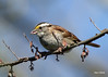 1313 White-throated Sparrow (vtbirdhouses) Tags: whitethroatedsparrow