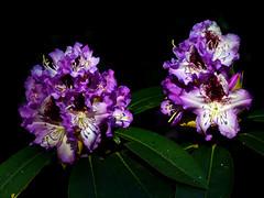RHODODENDRON (roland gruß) Tags: blüten