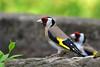 DSC_7765 Stieglitz (Charli 49) Tags: charli nature naturfotografie wildlife tier animal vogel bird garten stieglitz distelfink vogelbad vogeltränke nikon d7200