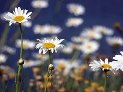 i graduati, gli attendenti e la truppa (fotomie2009) Tags: spring primavera flower fiore flora white daisy wildflower wild nature spontaneous spontaneo margherita